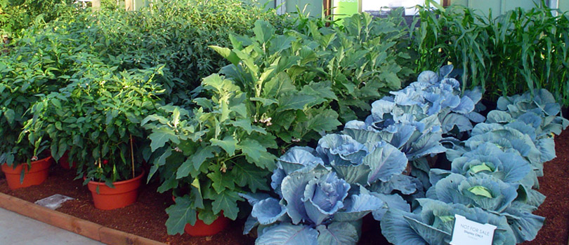 Kitchen Garden Has Become An Essential Part Of Every Household Irrespective The Space Available Maintaining A Can Help In Growing